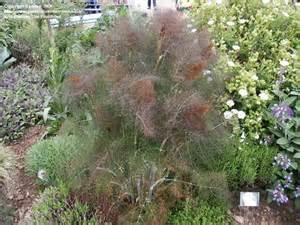 bronze fennel picture 3