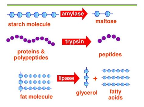 digestion of fat by lipase picture 17