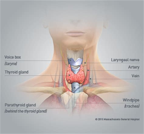 anatomy of the thyroid gland picture 18