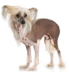 chinese crested dog skin disease picture 19