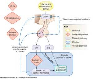 testosterone is produced by what endocrine gland picture 7