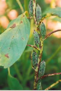 bacterial leaf spot of g picture 1