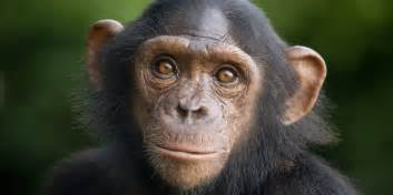 skin color in chimpanzees picture 6