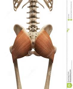 muscle spasams in the gluteus maximus picture 11