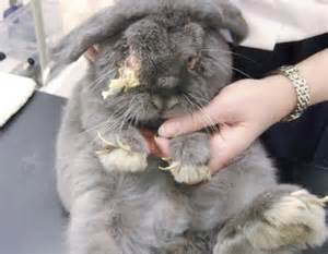 rabbit eye infection pictures picture 3