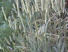alfalfa seed for sale picture 10