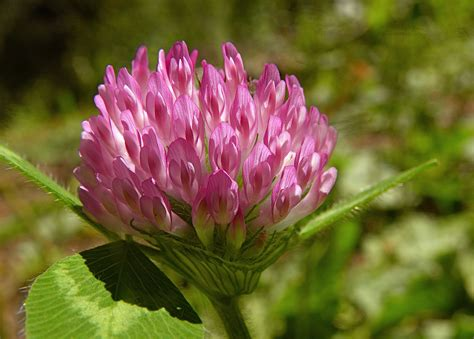 red clover herbal picture 5