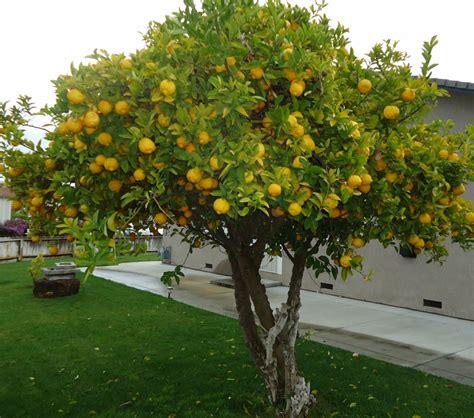 lemon tree hair picture 9
