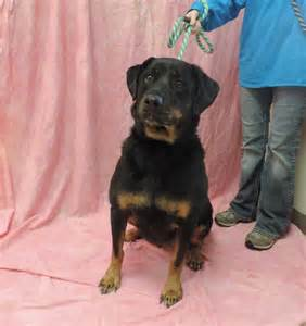aging rottweiler care picture 11
