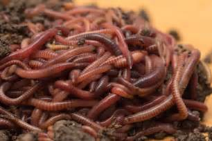 can worms get into bladder picture 5