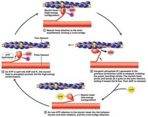 contraction in skeletal muscle tissue picture 6