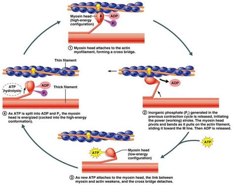 contraction and stimulation of the uterine smooth muscle picture 11