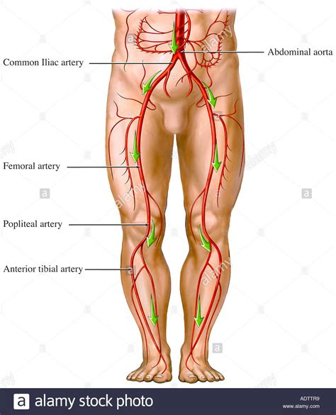 Blood circulation legs picture 3