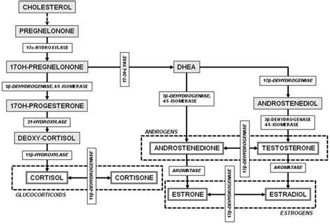 relationship between testosterone and estrogen picture 1