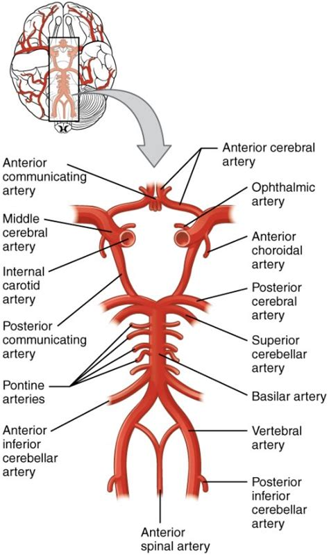 cerebral blood flow picture 2