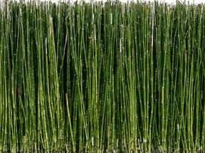 horsetail bamboo picture 6