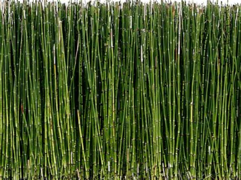 horsetail herb picture 7