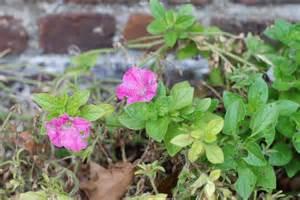petunia fungus picture 1