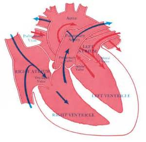 blood flow theough heart to h picture 3