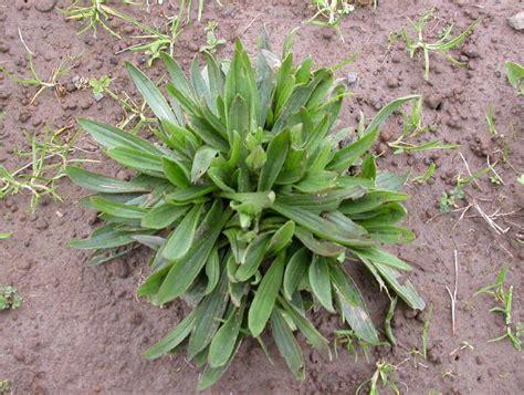 buckhorn plantain picture 5