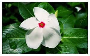 kumintang herbal picture 1
