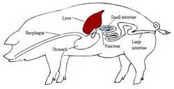 pig digestion picture 5