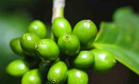 green coffee bean mercury drugstore philippines picture 10