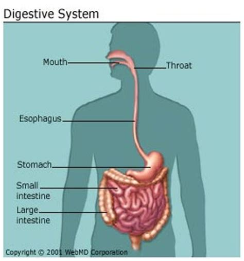 digestion diagram picture 15