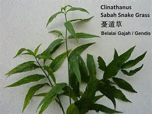 herbal plant for myoma treatment in the philippines picture 7