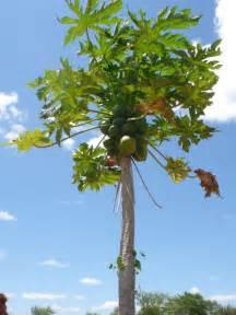 growing papaya trees picture 2