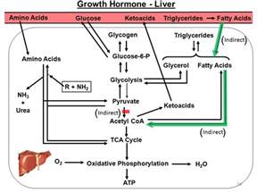 growth hormone to repair liver picture 7