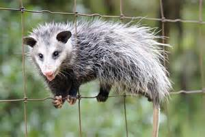 pictures of opossum h picture 1