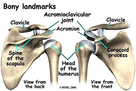 acromio-clavicular joint picture 11