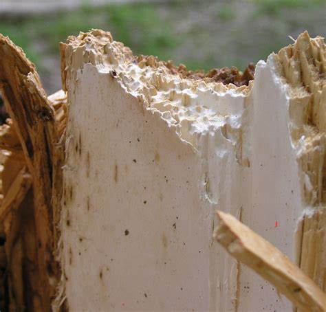 white fungus on wood picture 10