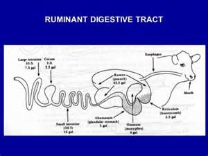 ruminant digestion picture 2