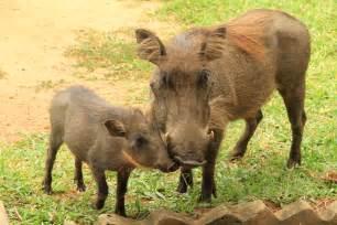wart hog picture 10