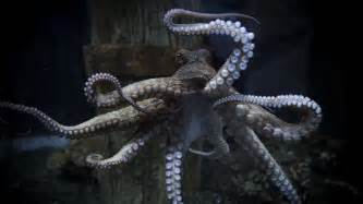 octopus h picture 3