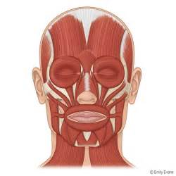 face muscle picture 11