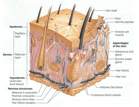 diagram of how oil penetrates skin picture 3