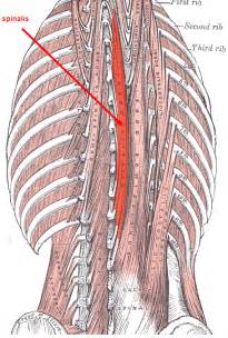 erector muscle group picture 11
