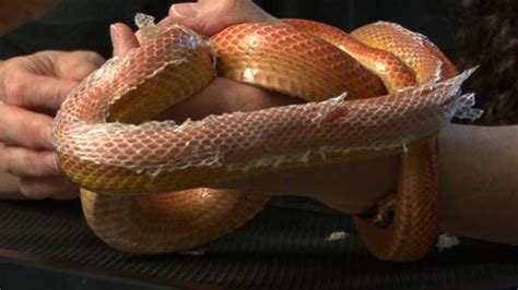 corn snake h picture 6