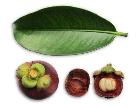 garcinia mangostana philippines picture 9