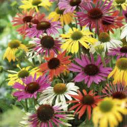 echinacea facts picture 1