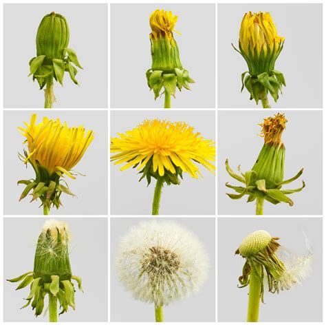 stages of growth of dandelions picture 2