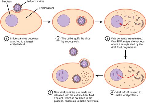 general stages of bacterial infection picture 2
