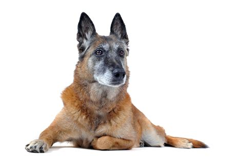 aging dogs picture 5