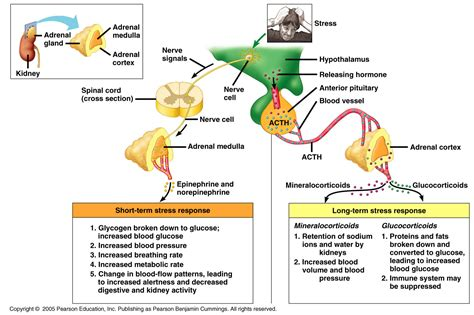 affects of aging on the adrenal cortex picture 7