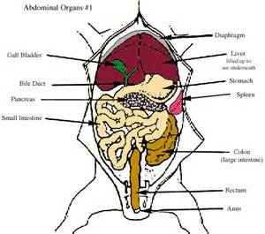 fetal pig digestion system picture 9