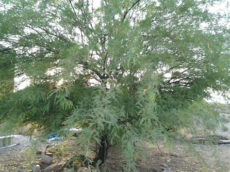 a thorny evergreen tree native to southwest morocco picture 2