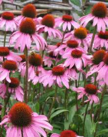 standard process sublingual echinacea picture 1
